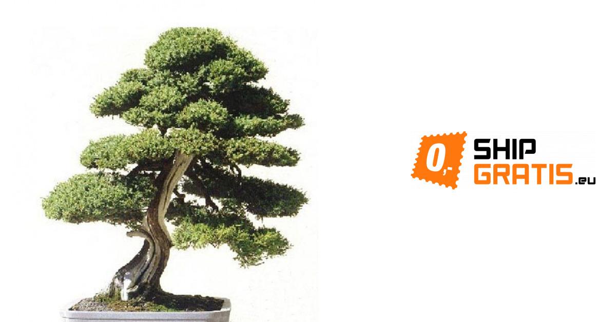 Nasiona Cedru Himalajskiego W Stylu Bonsai 20 Sztuk 88 Zł